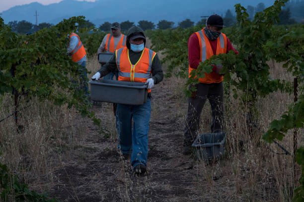 CA: Operations During A Grape Harvest At A Winery