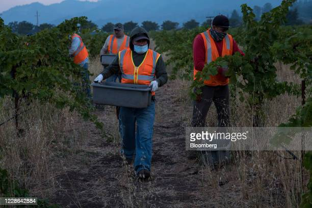 Workers wearing protective masks pick zinfandel grapes at a vineyard in Kenwood California US on Monday Sept 21 2020 Smoke from the LNU Lightning...