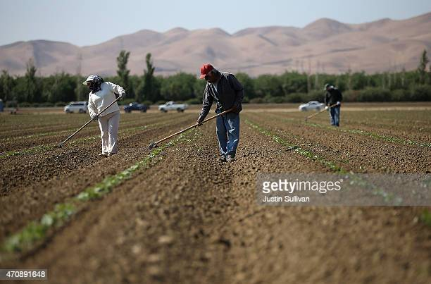 Workers weed a cantaloupe field on April 23 2015 in Firebaugh California As California enters its fourth year of severe drought farmers in the...