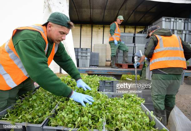 Workers weigh the crop of watercress on June 05, 2020 in Waddock Cross, United Kingdom. The Watercress Company in Dorset has overcome difficulties in...