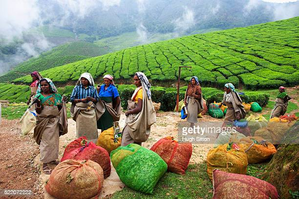 workers with bags of picked tea leaves ready to be weighed - hugh sitton stock pictures, royalty-free photos & images