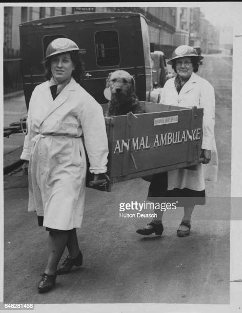 Workers with the National Air Raid Precautions Animal Committee carry an airdale injured during an air raid into an animal hospital England 1940