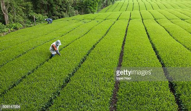 Working at green tea plantation in Japan