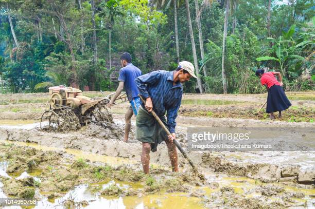 working at paddy-field in sri lanka - lanka stock pictures, royalty-free photos & images