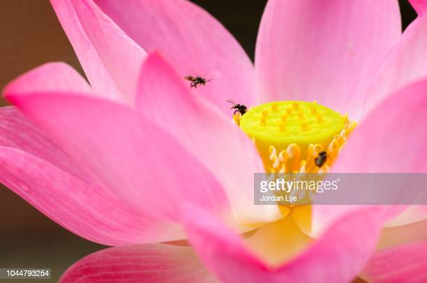 working bees with pink lotus - lily jordan stock pictures, royalty-free photos & images
