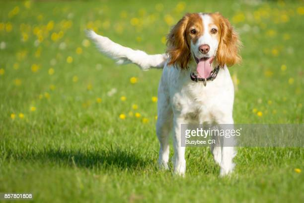 working cocker spaniel dog, standing and waiting - cocker spaniel stock photos and pictures