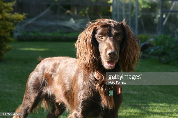 working cocker spaniel - spaniel stock pictures, royalty-free photos & images