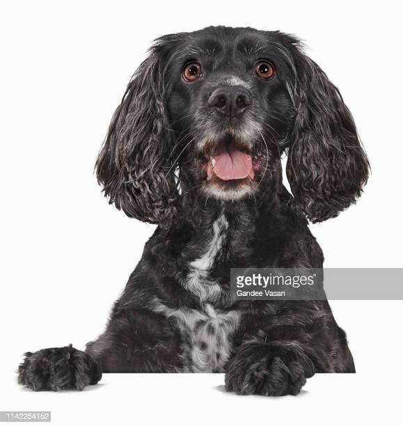 working cocker spaniel startled and peeking - gandee stock pictures, royalty-free photos & images