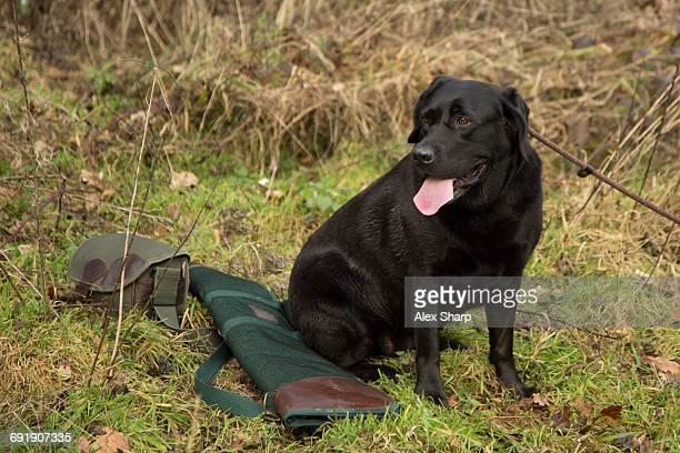 Working dog at Pheasant shoot