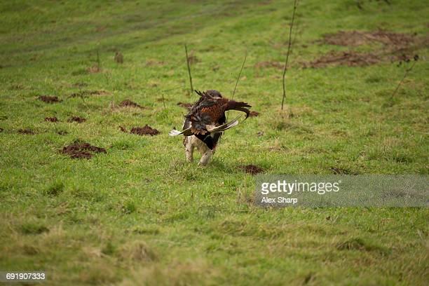 Working dog bring back a pheasant