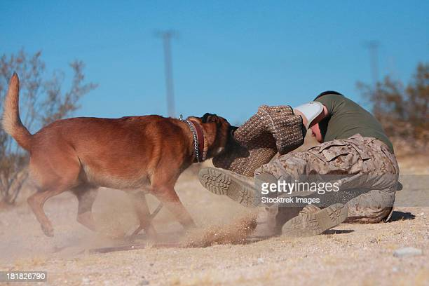 A working dog handler works on take-down techniques with a military working dog.