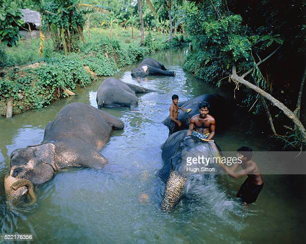 working elephants bathing in a river, sri lanka - hugh sitton stock pictures, royalty-free photos & images