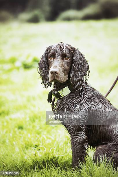 working gundog - spaniel stock photos and pictures