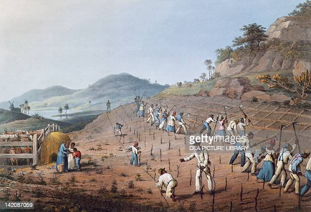 Working in the field in Antigua Lesser Antilles engraving by William Clark
