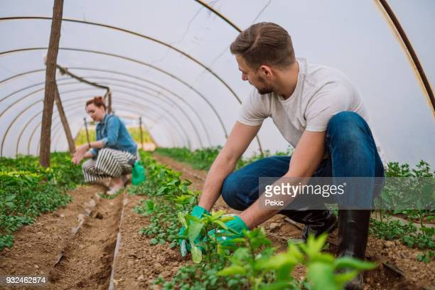 working in the greenhouse - organic farm stock pictures, royalty-free photos & images
