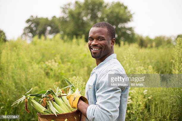 Working on an organic farm. A man carrying a basket full with corn on the cob,produce freshly picked.