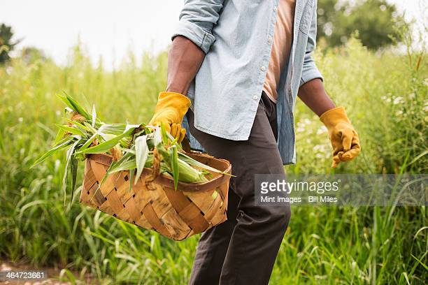 working on an organic farm. a man holding a basket of fresh corn on the cob,produce freshly picked. - farm to table stock photos and pictures