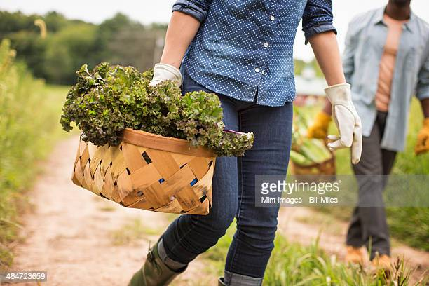 Working on an organic farm. A woman holding a handful of fresh green vegetables,produce freshly picked.