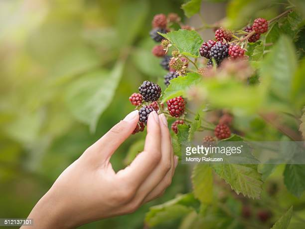 Working picking blackberries on fruit farm, close up