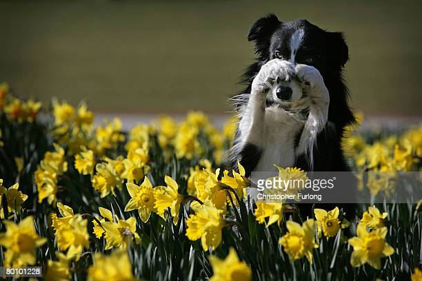 Working Sheep Dog sevenyearold Twig performs tricks for photographers amongst the spring daffodils during a photocall to launch Crufts 2008 at the...