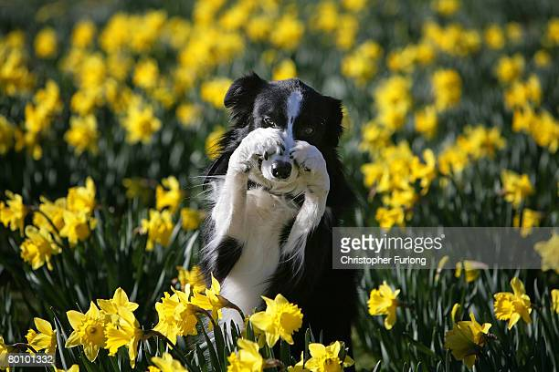 Working sheep dog Twig performs tricks for photographers amongst the Spring daffodils during a photo call to launch Crufts 2008 at the National...