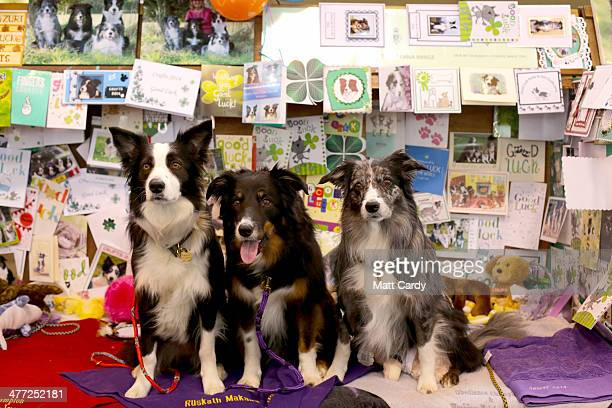 Working sheep dogs Zuri Nyla and Oddi sit in their kennel adorned with good luck messages and gifts as they wait to take part in the obedience...