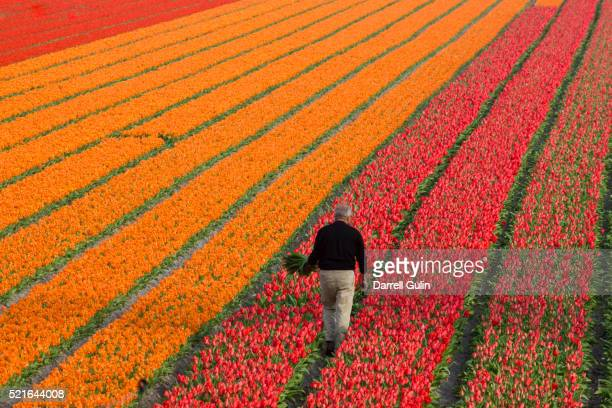working the tulips fields in the netherlands - netherlands stock pictures, royalty-free photos & images