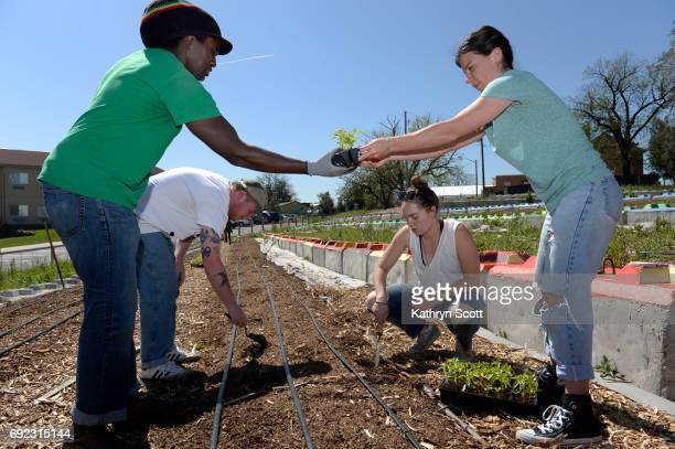 Working together to plant a variety of peppers, from left to right, Regis professor Damien Thompson, Kyle O'neill, Ryede DeGiovanni, and Abby Wagner....