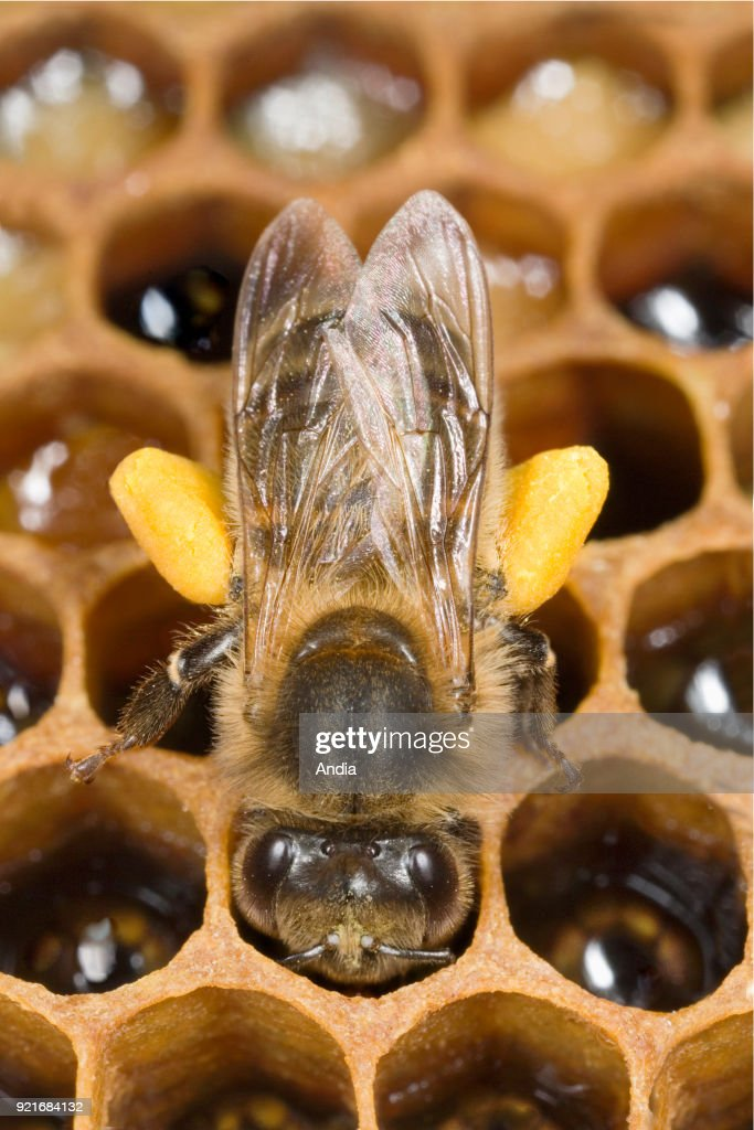 working-bee carrying pollen in its pollen baskets on the legs. Cleaning of alveolus and tamping of pollen on the wax combs.