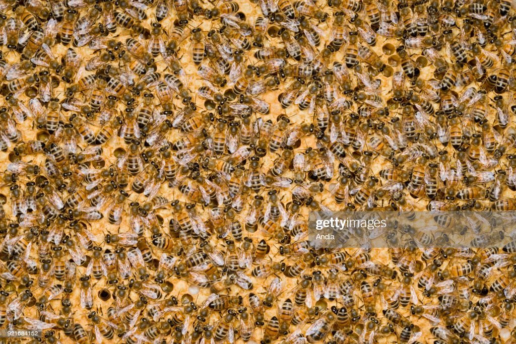 Working-bees feeding the larvas and sealing alveolus filled with bee broods.