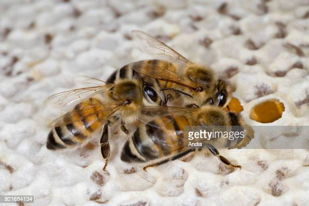 Workingbees filling and sealing alveolus filled with honey