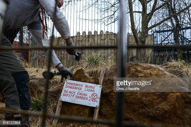 A workman hammers in a safety notice at the new lion enclosure 'Land Of The Lions' at London Zoo on March 16 2016 in London England The enclosure...