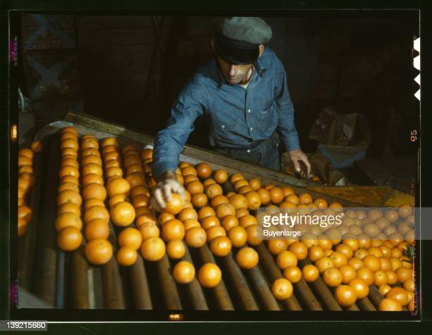 Workman is does the preliminary sorting at Coop orange packing plant Redlands California 1943