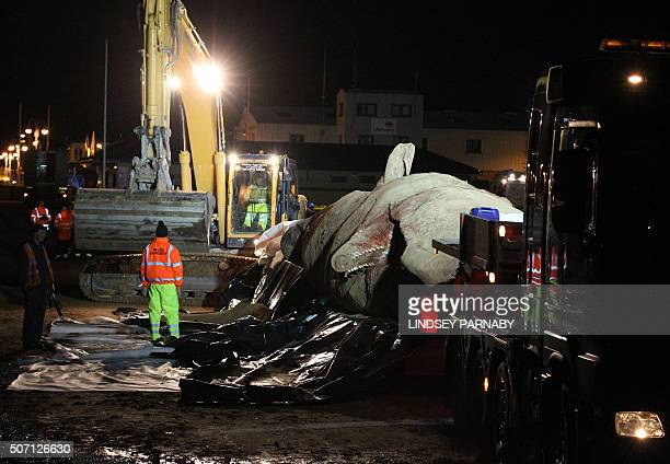 Workmen cover a the second of three dead sperm whales after loading it onto a truck as they work to remove it from a beach near Skegness eastern...