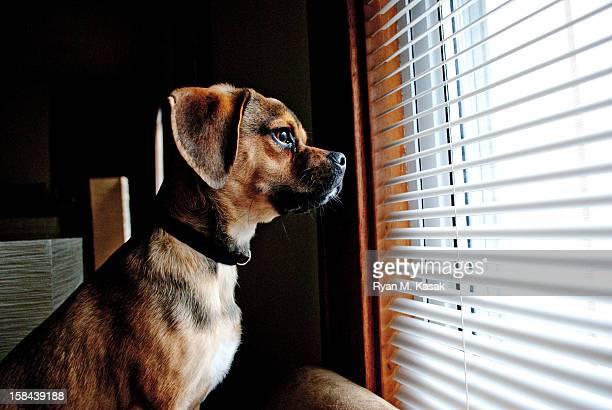 world beyond his window - パグル犬 ストックフォトと画像