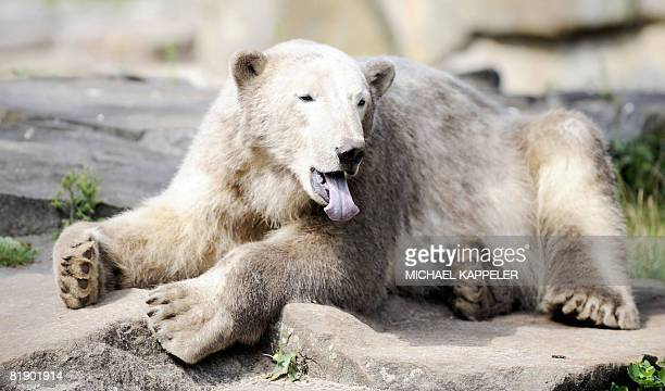 World famous polar bear Knut sticks out his tongue as he sits in his enclosure at the zoo in Berlin on July 11 2008 The bear born 05 December 2006 at...