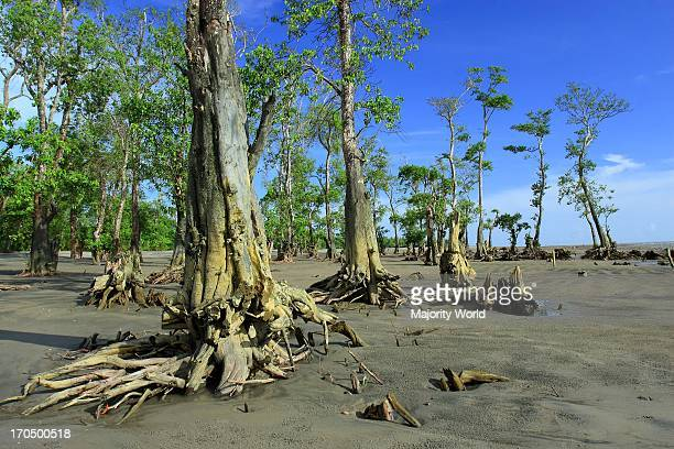 World Heritage site the Sundarban is the largest mangrove forest in the world that lies on a delta at the mouth of the Ganges River spreading across...