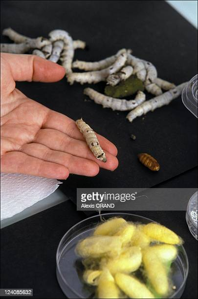 A world premiere a transgenic fluorescent silkworm in France in February 2000 The silkworm has thus become the first lepidopteran insect to have...