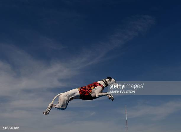 World record holder 'Cochiti' the Whippet leaps into the water to record the distance of his jump during the Dock Dogs West Coast Challenge in...