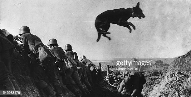 World War I German school for messenger dogs in France Dog jumping over a dugout It is wearing a message around his neck Summer 1917