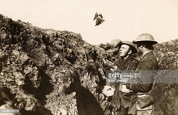 World War I In a trench release of a pigeon Ca 1916
