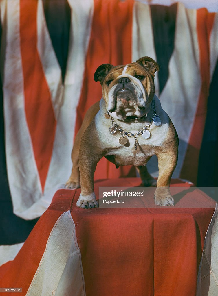 World War II, November 1943, A picture of -Bosworth Queen+ bulldog which collected over ?10,000 for charities and war savings