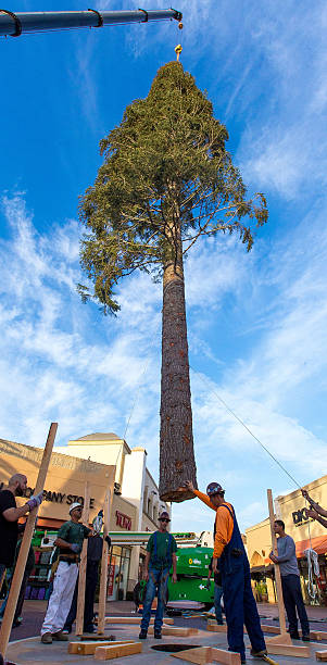 worlds tallest christmas tree arrives at citadel outlets on october 19 2015 in city of - Worlds Tallest Christmas Tree