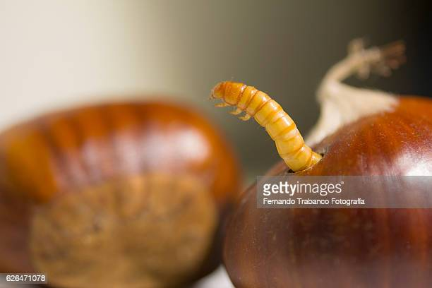 A worm coming out of a chestnut