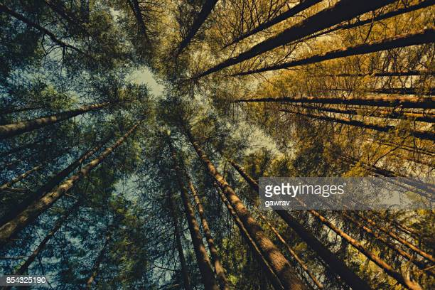 Worm eye view of pine trees in woods at dawn.
