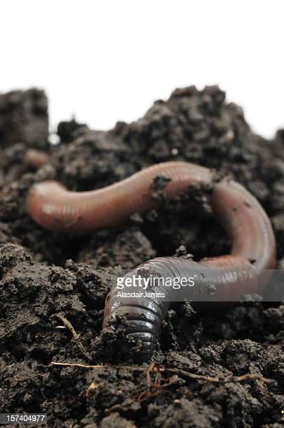 worm going underground - earthworm stock pictures, royalty-free photos & images