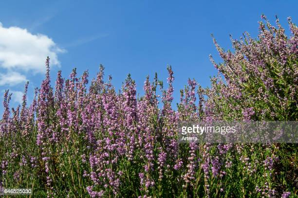Worm's eye view of common heather / Scotch heather / ling flowering in heathland in summer.