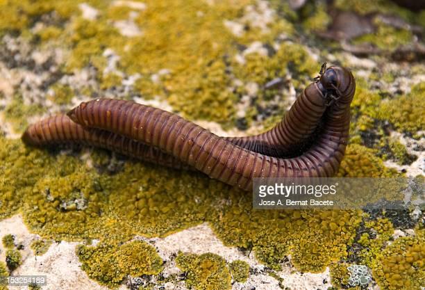 worms - begattung kopulation paarung stock-fotos und bilder