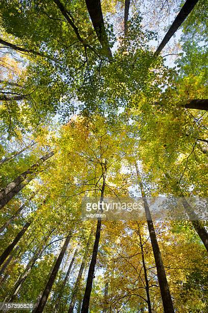 worm's-eye view of tall tree's in a forest in autumn - roaring fork motor nature trail stock pictures, royalty-free photos & images