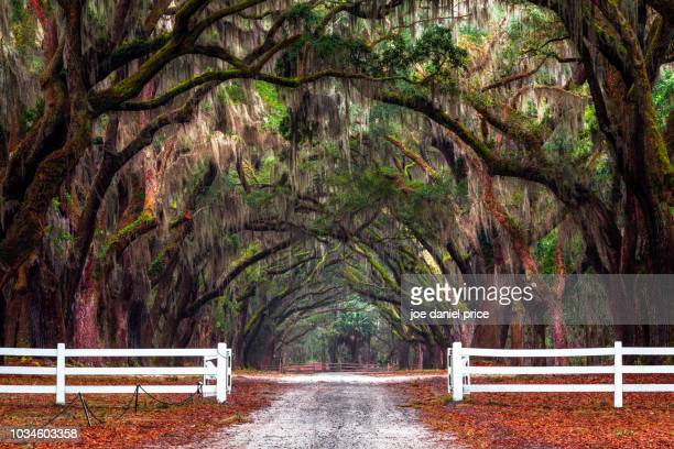 wormsloe, savannah, georgia, america - spanish moss stock pictures, royalty-free photos & images